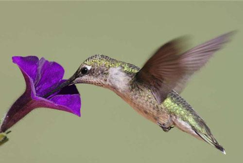 蜂鸟:世界上最小的鸟