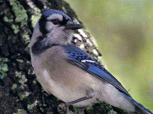 卡西亚鸟(种树鸟):会种树的鸟