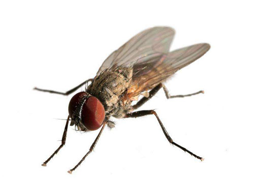 苍蝇的嗅觉器官在哪里?长在脚上