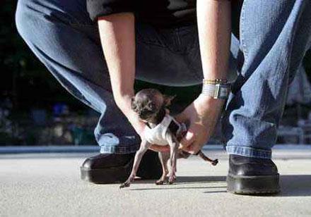 世界上体型最小的狗
