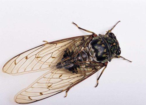 世界上寿命最长的昆虫