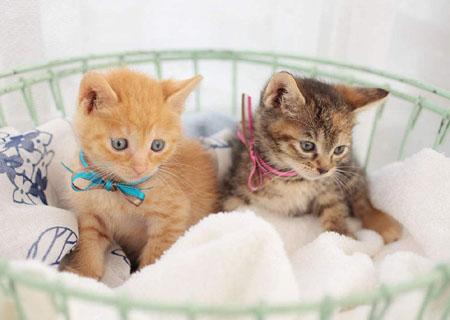 世界上最小的短毛家猫