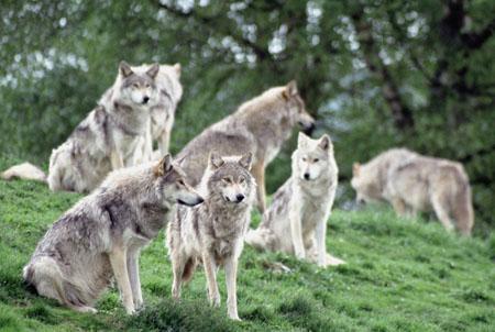 狼群为什么排队而行