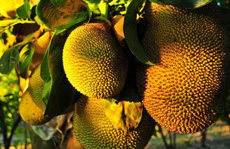 世界上最大的水果是什么