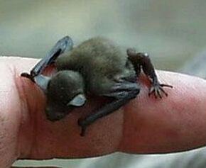 大黄蜂蝙蝠:世界上最小的哺乳动物