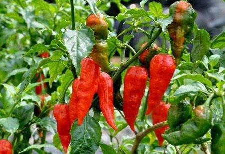 世界上最辣的辣椒产自哪里