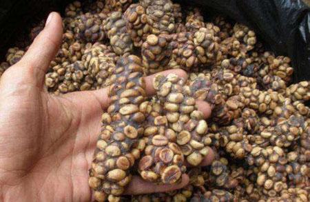 """麝香猫咖啡:世界上最稀有的""""咖啡"""""""