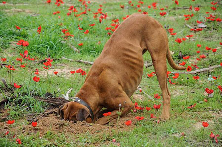为什么狗喜欢挖坑呢?