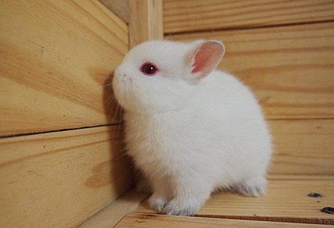 荷兰矮兔:世界上最小的兔子