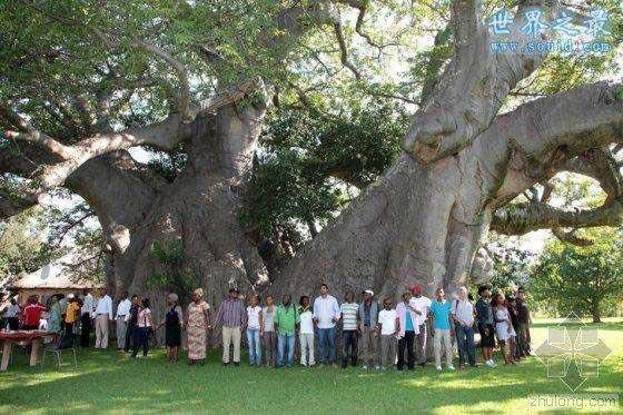 世界上最粗的树是哪棵树
