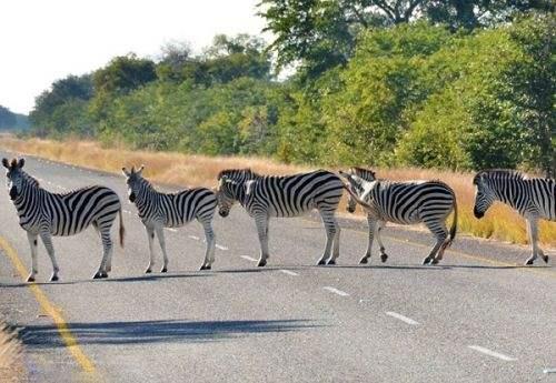 每年因公路交通致死的野生动物,比猎杀的还多?