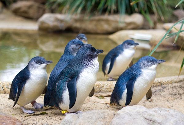 小蓝企鹅:世界上最小的企鹅