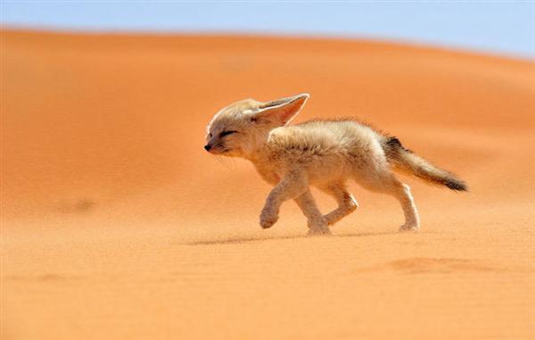 沙漠狐狸:世界上最小的狐狸