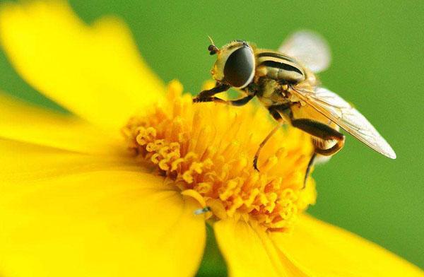 为什么蜜蜂知道在什么地方采蜜