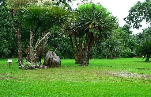 生长最慢的树 100年才长高30厘米