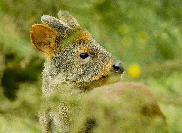 普度鹿:世界上最小的鹿