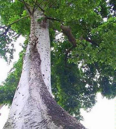 木盐树:能够产盐的树