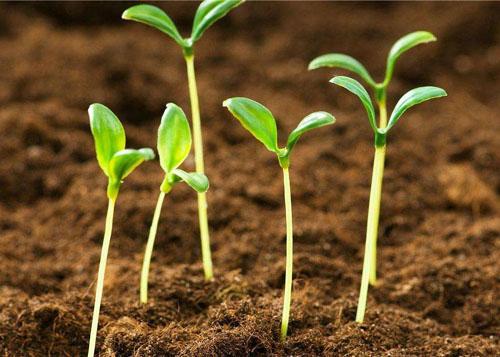 为什么植物幼苗有的是一片叶子有的是两片
