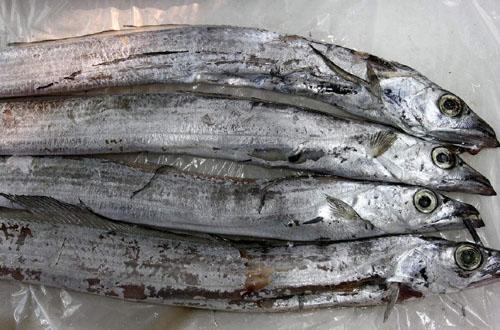 为什么菜市场上没有活的带鱼和黄鱼