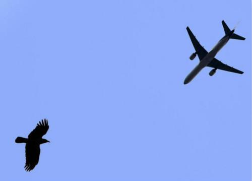 飞机为何会害怕小鸟