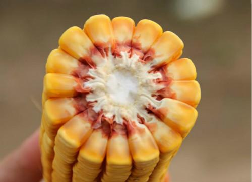 玉米截面的玉米粒都是偶数