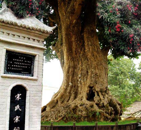 最老的荔枝树 树龄1200年
