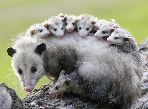 负鼠可以口吐白沫装死来自卫