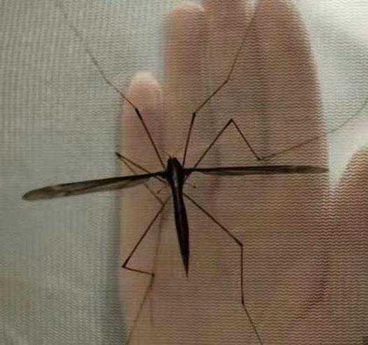 世界最大的蚊子 长达25.8厘米