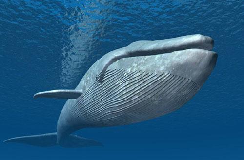 鲸鱼心跳每分钟只有10次