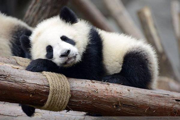 大熊猫究竟有多懒