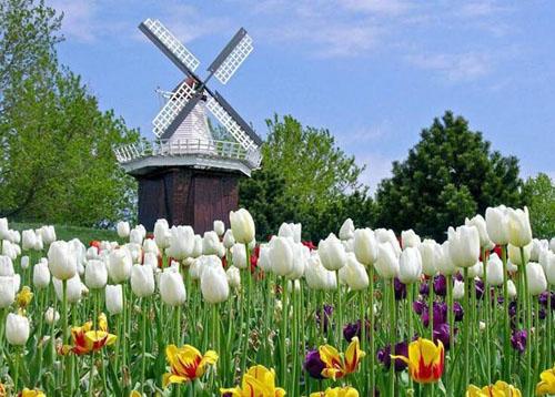 荷兰国花郁金香并非原产自荷兰