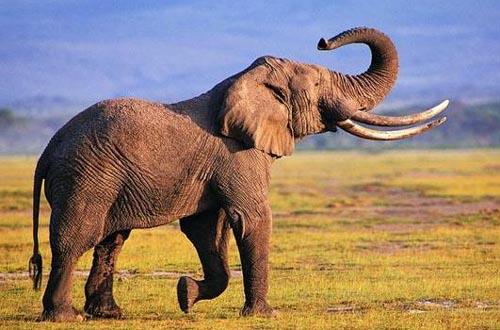 人体肌肉数目不到大象鼻子的零头