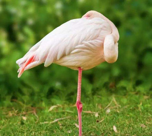 为什么鸟类睡觉时喜欢单脚站立