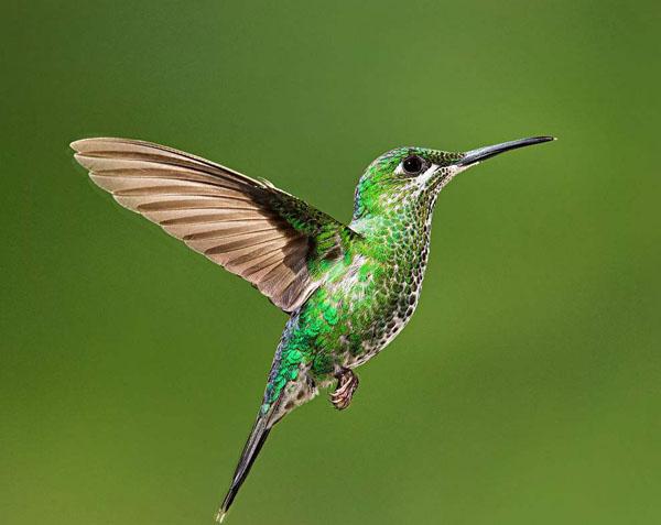 蜂鸟每天要进食9万次