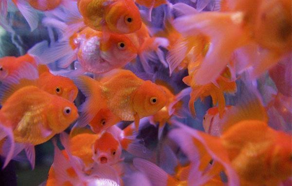 为什么金鱼大都很漂亮