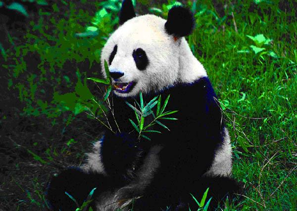 大熊猫每天排便40多次