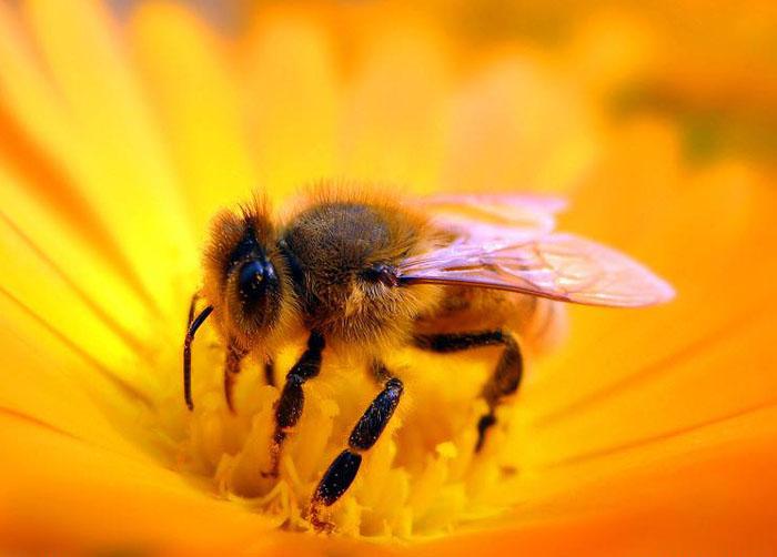 蜜蜂是怎么会把花蜜转化成蜂蜜的