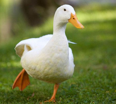 为什么鸭子走路总是一摇一摆的