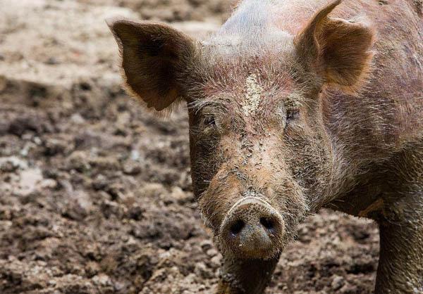 被冤枉的猪 其实不肥不笨不脏不懒