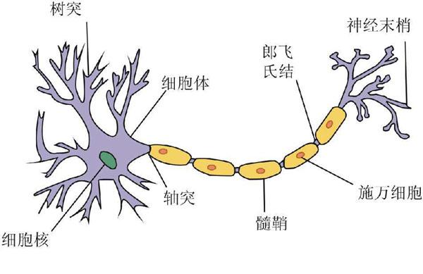 人体细胞都很小吗?细胞最大有一米长!