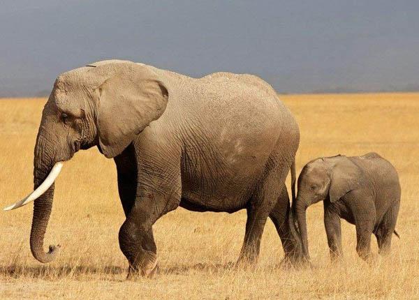 大象怀孕期长达两年