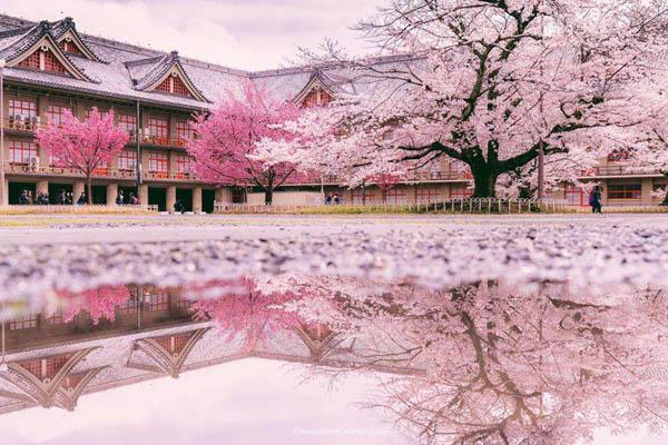 樱花不是日本国花 日本没有国花