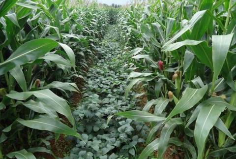 玉米和大豆间种为什么能增产