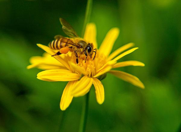 蜜蜂蜇人后为什么会死去