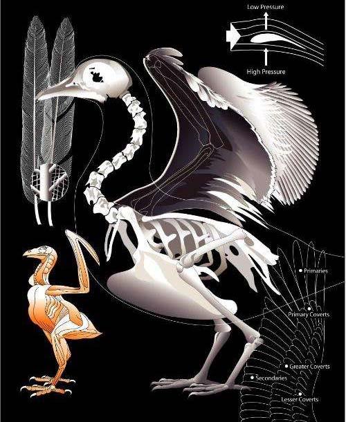 鸟类的骨头里有骨髓吗