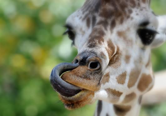长颈鹿的舌头能够舔到耳朵