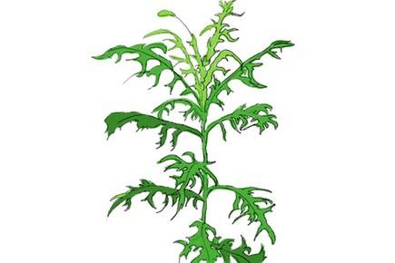 """""""指南草""""""""指南树"""" 植物也能指示方向"""