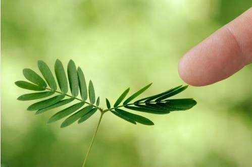 含羞草为什么一经触动就把叶子合拢