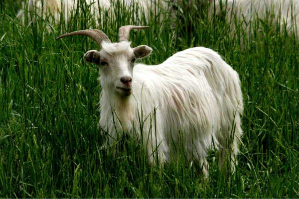 山羊拥有几乎360度的视野