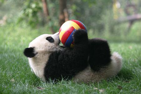 国宝大熊猫也曾经沦落街头卖艺